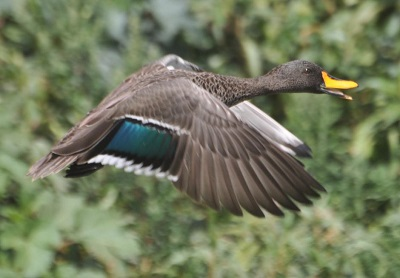 duck speculum