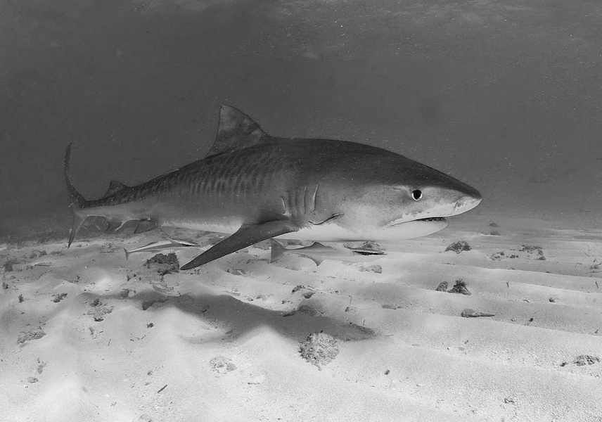 """""""tiger shark"""" by AlKok is licensed under CC BY-NC-SA 2.0"""